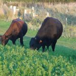 Beef cows harvesting sunshine in the form of green grass.  Delicious grass fed beef coming up!