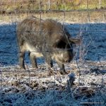 """What breed of pig is this?  Is it """"feral"""" or """"domestic?""""  Looks like a Mangalitsa from here."""