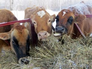 Gossip at the hay bale!  The Jersey milk cows grabbing breakfast and the latest news on the farm.