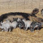 Spring Pigs