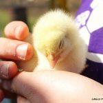 A broiler chicken chick sleeping in Rachel's hands.