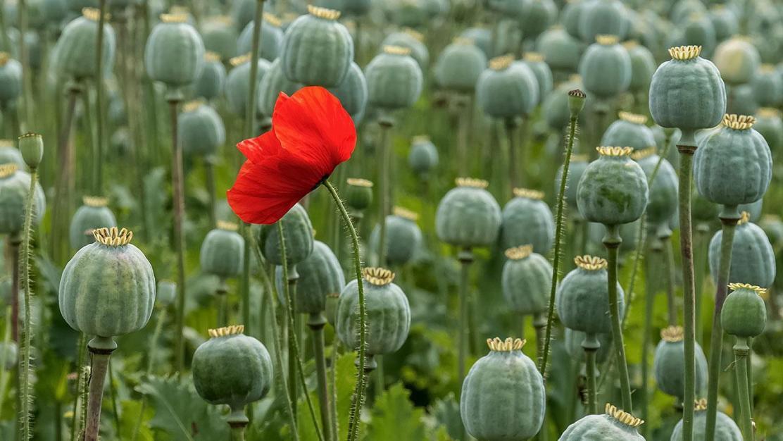 poppy5