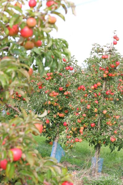 Apfelernte Werder (Havel) © Bake to the roots