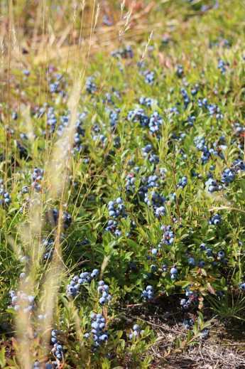 Wild Blueberries | Bake to the roots