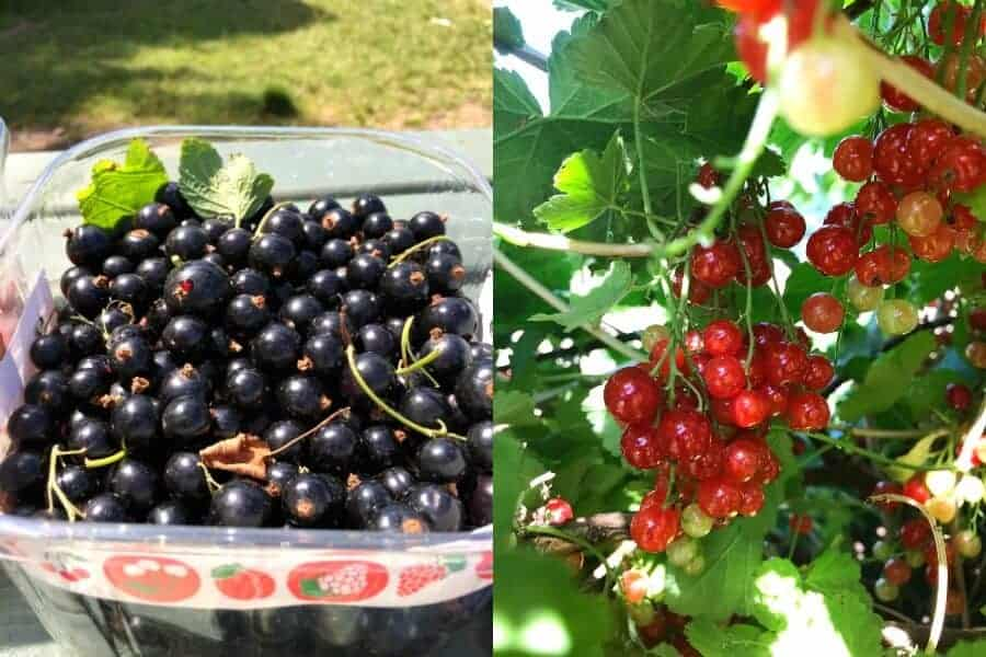 Blackcurrant, Redcurrant and Gooseberry Recipes You Must Make The Summer