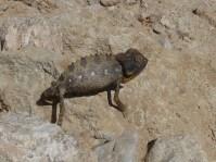 RTW_2017_dag_0044_namibia (07b)__elvis_the_chameleon