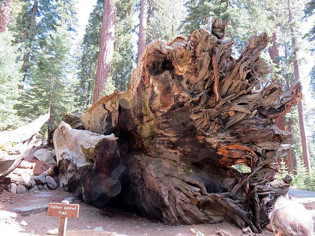 Fallen Tunnel tree