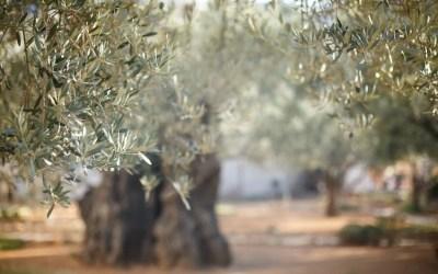 ¿Cuál es el mejor abono para olivos?