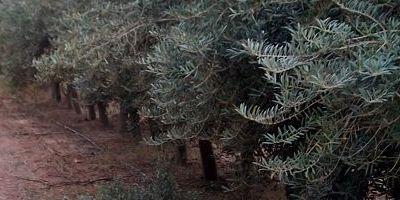 El diseño de las plantaciones de olivar influye en la calidad del aceite