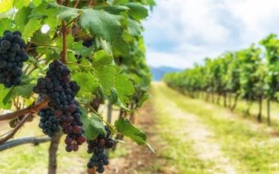 Cómo plantar una viña: pasos a seguir