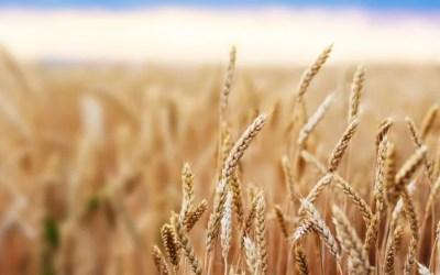 Cuidados especiales en el cultivo de cereales