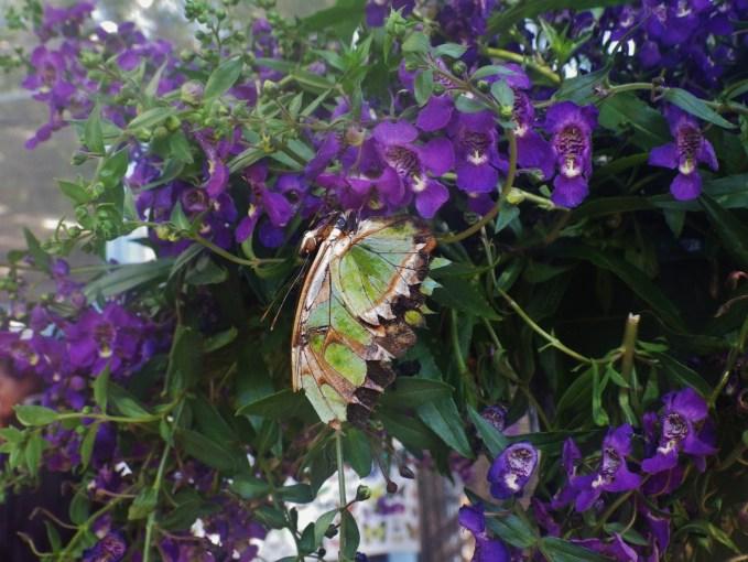 OC Fair butterfly exhibit