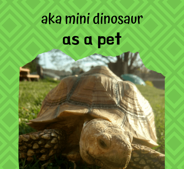 having a sulcata tortoise as a pet