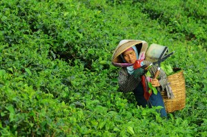An Asian man is shown doing physical labor in a tea field.