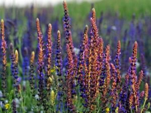 benefits-of-clary-sage-oil