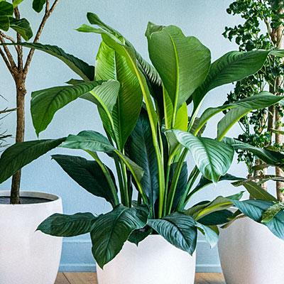 feng-shui-house-plant