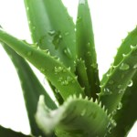 The Benefits and Natural Uses of Aloe Vera