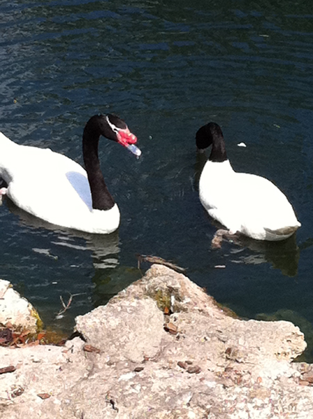 swans_twowhite.jpg