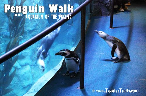 Penguin Walk at The Aquarium of The Pacific | @AquariumPacific
