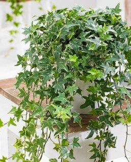 Image result for ENGLISH IVY INDOOR