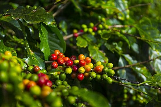 How to Grow a Coffee Plant | Care and Growing at Home