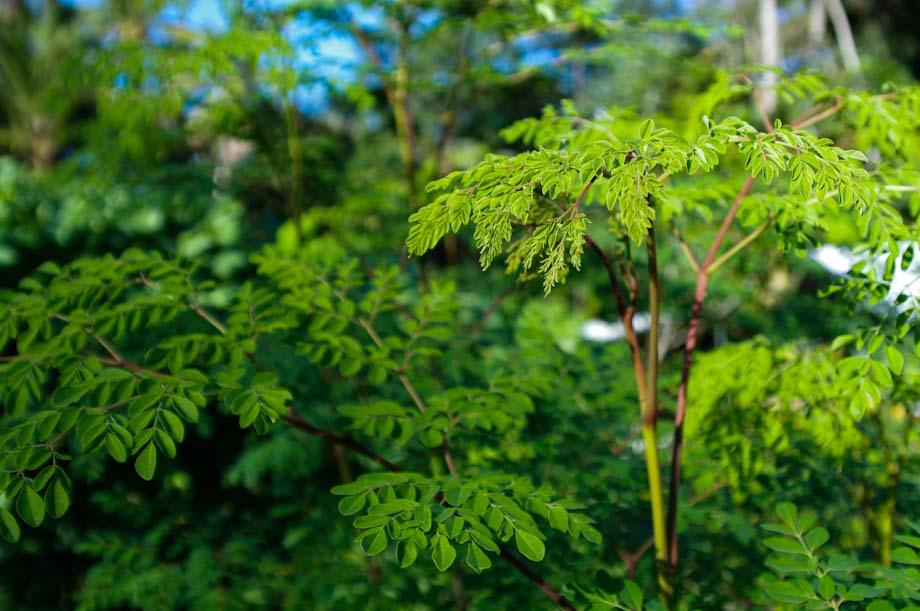 Growing Moringa Tree | Balcony Garden Web