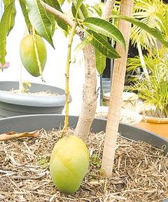 growing mango tree in pot