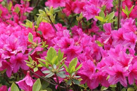 Flowers online 2018 evergreen shrub with pink flowers in spring flowers online evergreen shrub with pink flowers in spring mightylinksfo