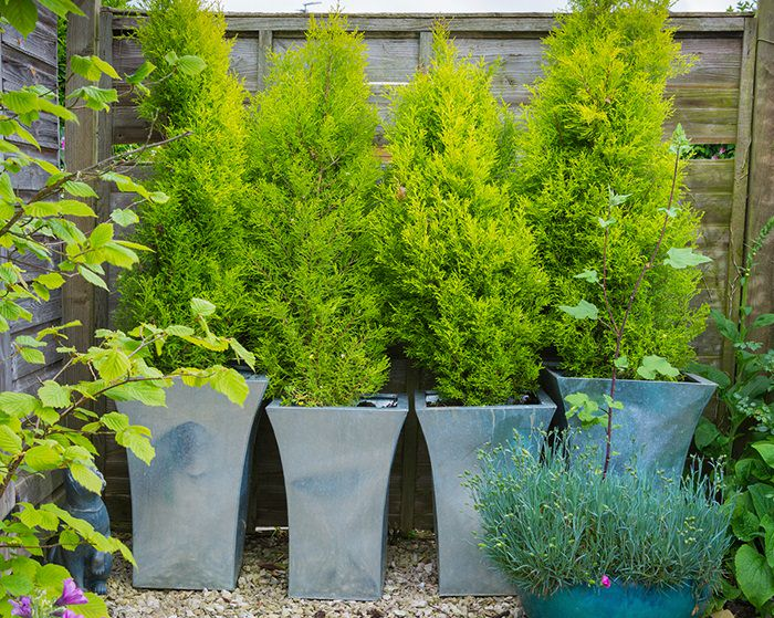 Planting Privacy Tree Ideas