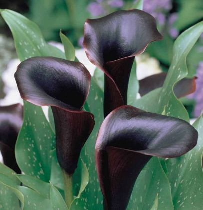 20 BLACK Flowers And Plants to Add Drama To Your Garden   Balcony     One of the most decorative flowers the  Black Star  bloom is deep purple  with a spathe that is almost black  it looks attractive in combination with  light