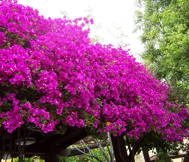 Succulent Purple Flowers