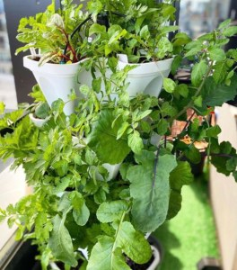 Tower garden with salad greens