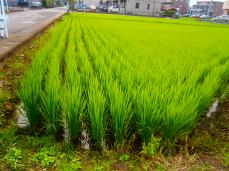 Rice growed up Hon-Atsugi