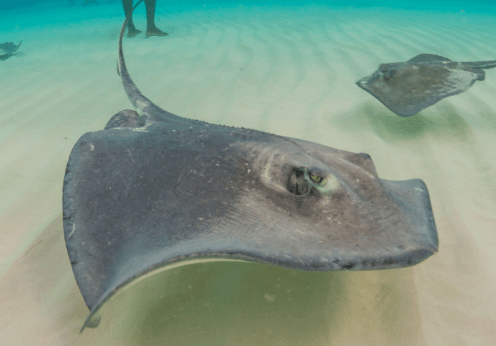 Stingray City Grand Cayman