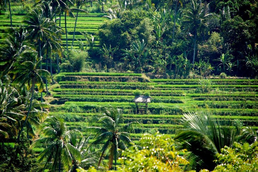 rice-fields-241221_1920