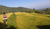 rice-field-near-sekumpul-waterfalls