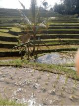 Jatiluwih rice terrace trekking tour with Bali Jungle Trekking Guide
