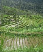 Rice Terrace View in Sekumpul Village