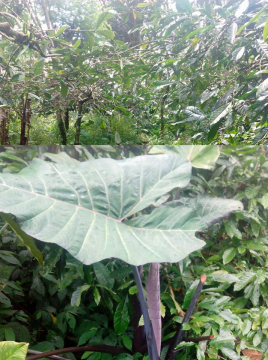 walking-around-to-bali-coffee-plantation