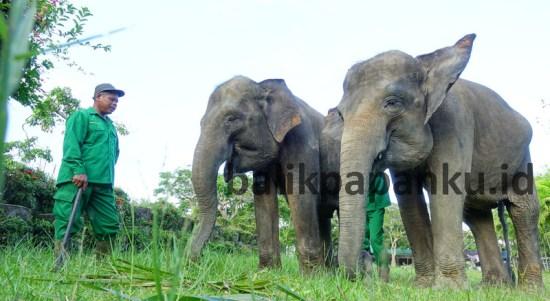 Balikpapanku - gajah penangkaran buaya terititp balikpapan