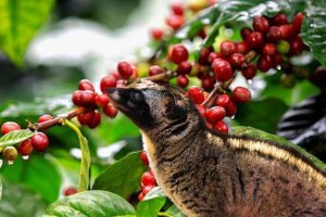 coffee luwak plantation