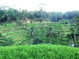 Rizieres Tegallalang Ubud avec Erwin - Balisolo 201511 (1)