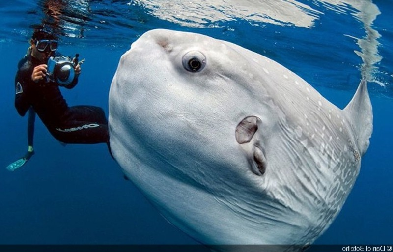 Fun diving with sunfish