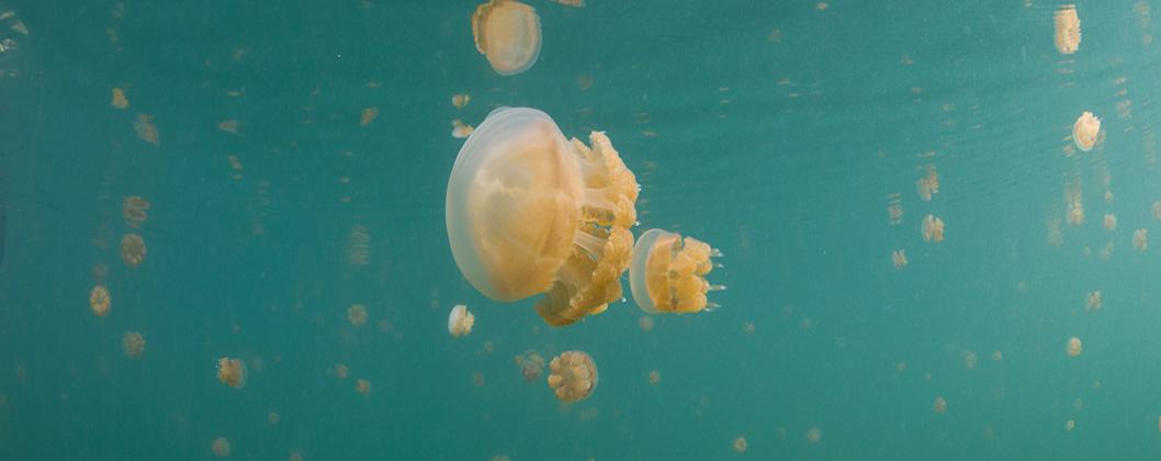 Jellyfish in the lake on Kakaban Island in Kalimantan province, Indonesia