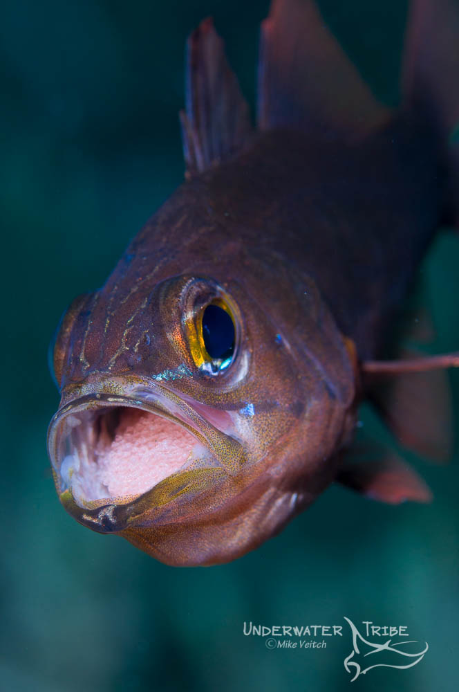 Cardinal Fish with Eggs in Mouth