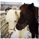 Die kleinen wundervollen Isländer sind lieb, gutmütig und sehr ausdauernd. Ein Ritt durch die Winterlandschaft mit den liebevollen Wesen ist ein unvergessliches Erlebnis! Im leichten Trab geht es in die weite unberührte Natur … (Foto: balkanblogger)