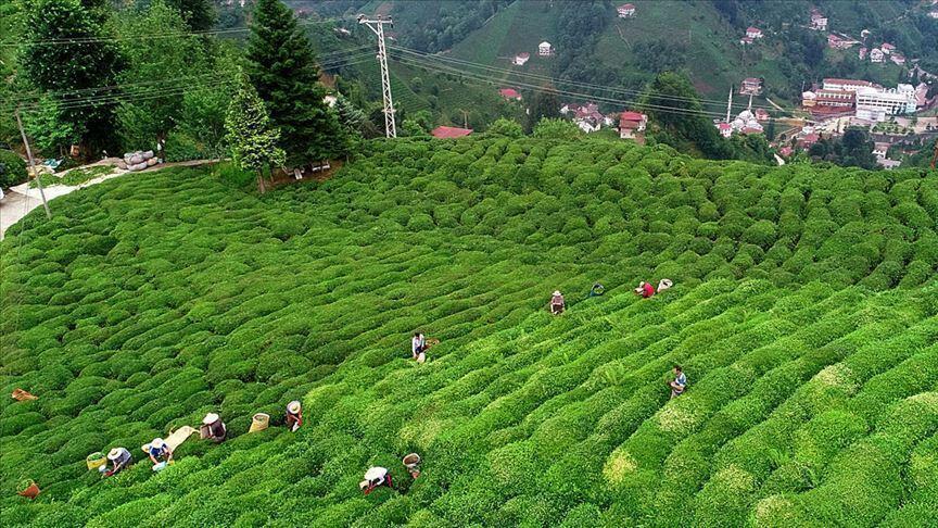 Çay ihracatından yılın 5 ayında 8,5 milyon dolar gelir elde edildi