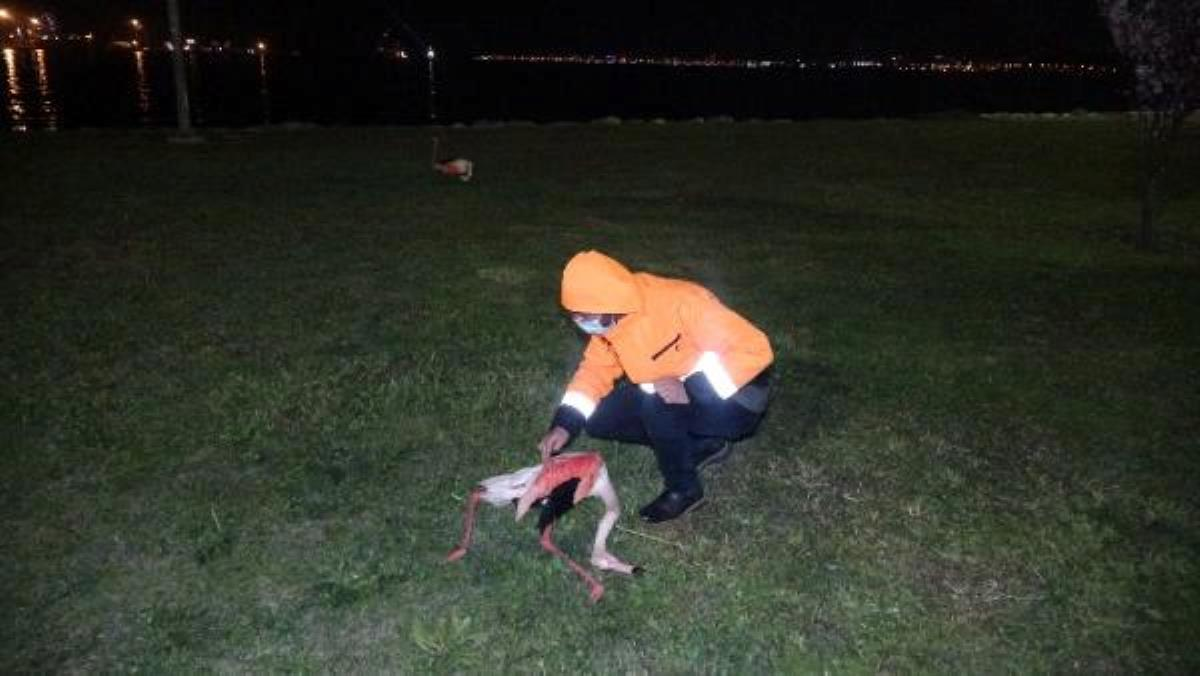 Son dakika gündem: İzmir'de 9 flamingonun ölümü endişe uyandırdı