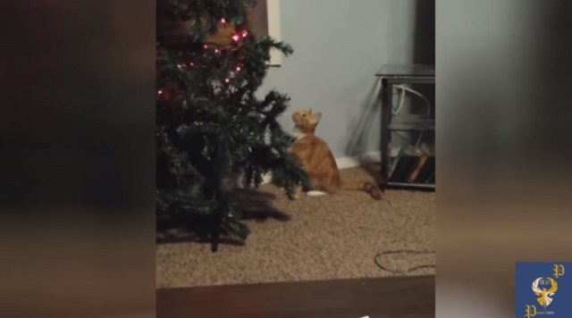 Komični susreti mačaka sa novogodišnjom jelkom (VIDEO)