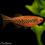 Danio Fire Ring Female